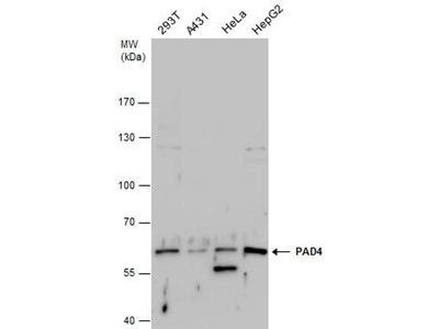 anti-PAD4 Antibody