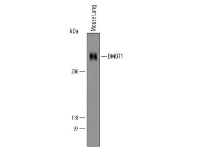 DMBT1 Antibody