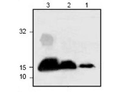 IL-3 Polyclonal Antibody
