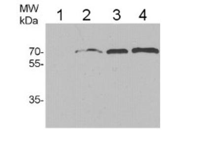 Anti- HSP70/HSC70 ; heat shock protein 70