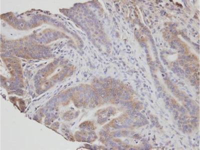 anti-Neutral Sphingomyelinase (N-SMase) Activation Associated Factor (NSMAF) (Internal Region) antibody