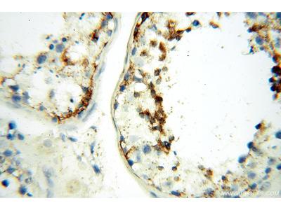 LYZL1 antibody