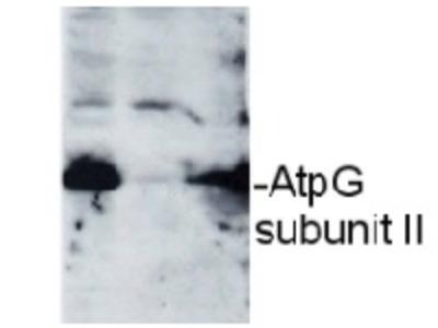 Anti-AtpG
