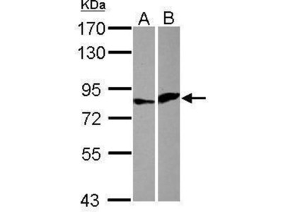 anti-Elf4 (Center) antibody