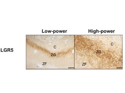 Lgr5 / GPR49 Antibody