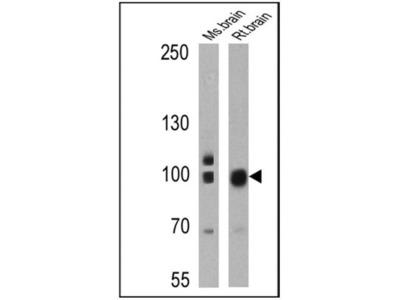 PSD-95 Antibody (6G6-1C9)