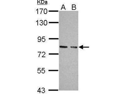 anti-cGK1 (Center) antibody