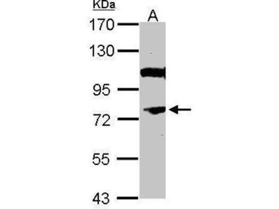 anti-NR4A3 (phospholipid scramblase 1) antibody