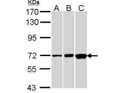 anti-CNGA2 (HCN2) antibody