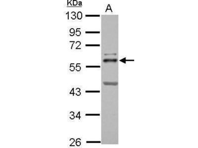 anti-ETS2 (pnt) antibody