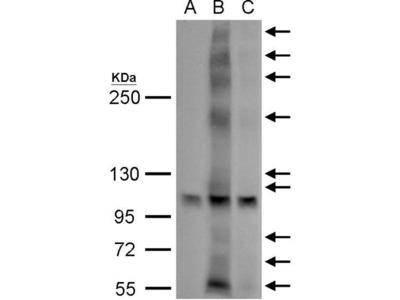 anti-GPER (Gper1) antibody