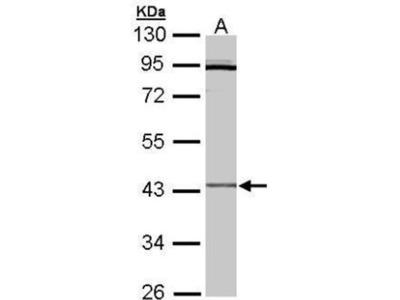 anti-CRLF1 (crlf1a) antibody