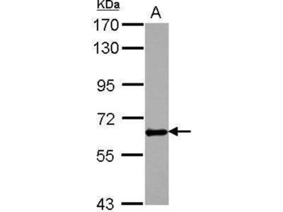 anti-Gpnmb (Osteoactivin) antibody