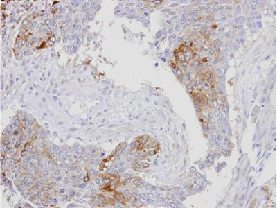 anti-Exportin 7 (XPO7) antibody