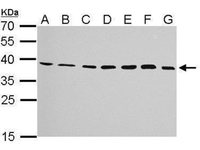 anti-JAM2 (junction adhesion molecule 2) antibody