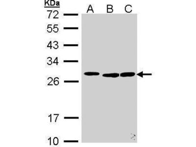 anti-SRSF9 (SFRS9) antibody