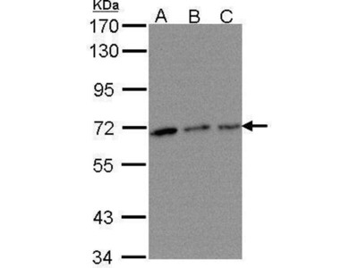 anti-TROVE Domain Family, Member 2 (TROVE2) (Center) antibody