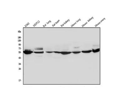 Anti-ALDH1A2 Picoband Antibody