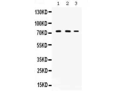 Anti-CYP11A1 Picoband Antibody