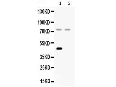 Anti-Factor I/CFI Picoband Antibody