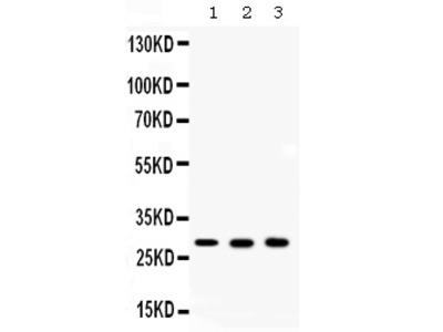 Anti-ca2/Carbonic Anhydrase Ii Picoband Antibody