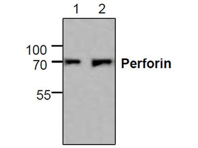 Perforin Antibody