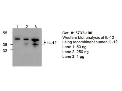 IL-12p40 Antibody